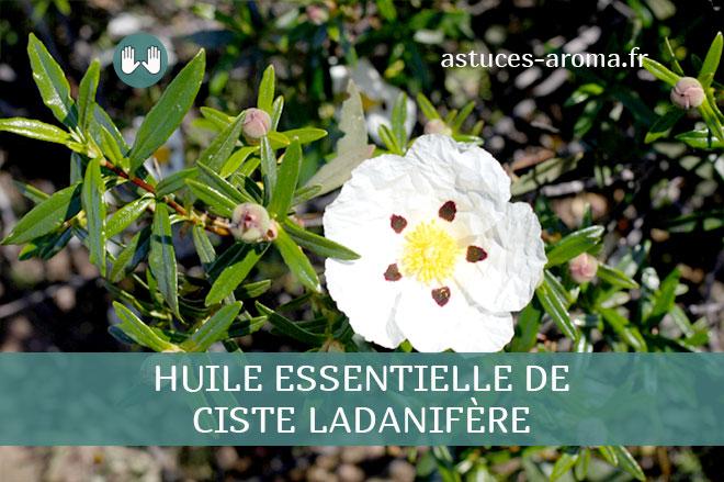 Fiche huile essentielle de Ciste ladanifère, son chémotype, ses conditions d'utilisation