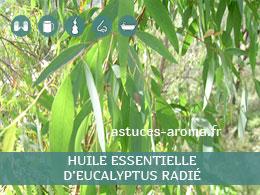 Fiche huile essentielle d'Eucalyptus radié, son chémotype, ses conditions d'utilisation, astuces