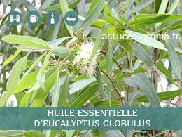 Fiche huile essentielle d'Eucalyptus globulus, son chémotype, ses conditions d'utilisation, astuces