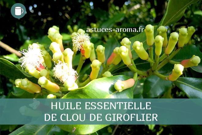 Fiche huile essentielle de clou de Giroflier, son chémotype, ses conditions d'utilisation, astuces